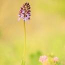 purpurea_3894