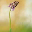purpurea_3931