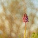 purpurea_3941