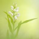 longifolia_196565