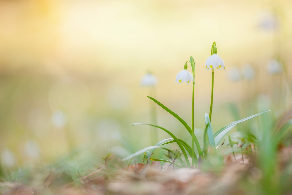 Frühlings-Knotenblumen / Leucojum vernum