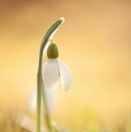 Schneeglöckchen / Galanthus nivalis