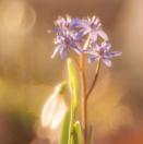 Zweiblättrige Blaustern / Scilla bifolia