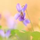 Hunds-Veilchen / Viola canina