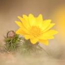 Frühlings-Adonis / Adonis vernalis