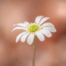 Anemonen-Schmuckblume / Callianthemum anemonoides