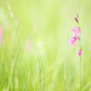 gladiolus_164592