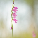 gladiolus_188298