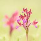 Schmetterlings-Knabenkraut/ Orchis papilionaceae/ Butterfly orchid