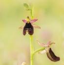 Bertolonis Ragwurz/ Ophrys bertolonii/ Bertoloni's Bee Orchid