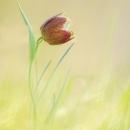 fritillaria_orientalis_19_5768