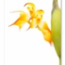Bulbophyllum ssp_9742