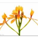 Epidendrum ibaguense_9931