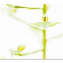 Ponthieva orchioides_0052