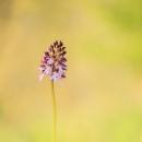 purpurea_183894