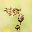 Flockenblumen-Scheckenfalter/ Melitaea phoebe