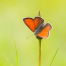 Lilagold-Feuerfalter/ Lycaena hippothoe