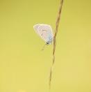 Rotklee-Blaeuling / Polyommatus semiargus