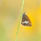 Weißbindiges Wiesenvögelchen/ Coenonympha arcania