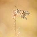Schwalbenschwanz / Papilio machaon