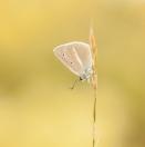 Weißdolch-Bläuling / Polyommatus (Agrodiaetus) damon