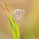 Zahnflügel-Bläuling/ Polyommatus daphnis