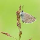 Rotklee-Bläuling/ Polyommatus semiargus