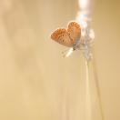 Großer Sonnenröschen-Bläuling/ Aricia artaxerxes