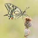 78_machaon_U0I6947_1