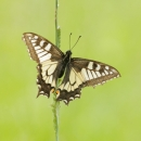20_machaon_srgb-2