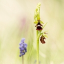 Fliegen-Ragwurz / Ophrys insectifera / Fly orchid