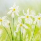 Stern-Narzisse / Narcissus radiiflorus / Pheasant's Eye