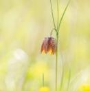Orientalische Schachblume / Fritillaria orientalis