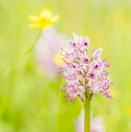 Affen-Knabenkraut / Orchis simia / Monkey orchid,