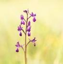 Lockerblütiges Knabenkraut / Anacamptis laxiflora / Loose flowered orchid