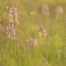 Helm-Knabenkraut / Orchis militaris / Military orchid