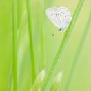 Südlicher Kurzgeschwänzter Bläuling / Cupido alcetas