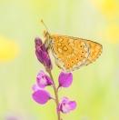 Goldener Scheckenfalter / Euphydryas aurinia / Marsh Fritillary