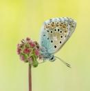 Himmelblauer Blaeuling / Polyommatus bellargus / Adonis blue