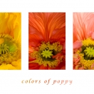 Colors of poppy
