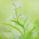 longifolia_207777