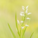 longifolia_51691