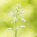 longifolia_71301