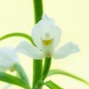 longifolia_72461