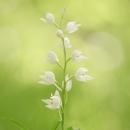 longifolia_9859
