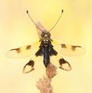 Östliche Schmetterlingshaft