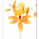 Epidendrum ibaguense_9941