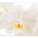 grandiflora_2994