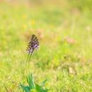 purpurea_183876