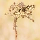 Osterluzeifalter/ Zerynthia polyxena